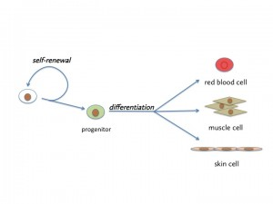 Stem cell biology and regeneration