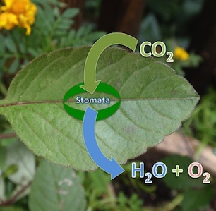 The Stomata: evolution and response to the changing environment